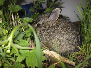 A healthy wild baby rabbit.