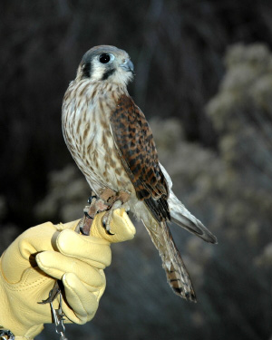Zippy the Kestrel in the Raptor Discovery Program